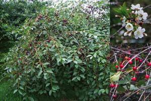 Prunus austera