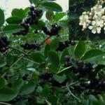 Арония черноплодная, черноплодная рябина