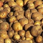 Урожай картофеля 2013