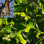 Лесной орех, орешник, лещина обыкновенная