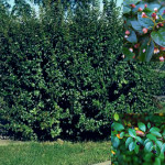 Кизильник — обыкновенное растение для зелёной изгороди