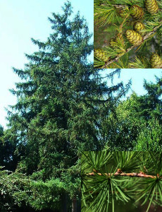 Larix europeae