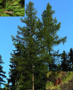 Larix_occidentalis