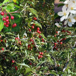 Яблоня сибирская, сливолистная, китайская, лесная, карликовая