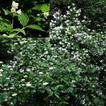 Чубушник обыкновенный, жасмин садовый