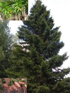 Picea-obovata