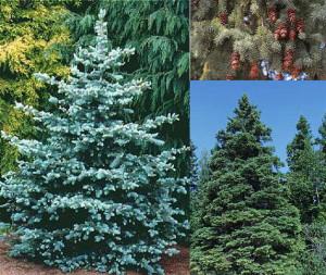 Picea_glauca