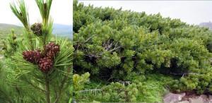 Pinus cembra pumila
