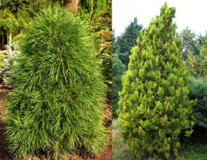 Pinus sylvestris globosa