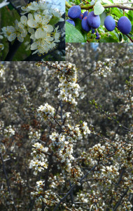 Prunus insititia