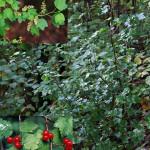 Смородина альпийская, красная, таранушка