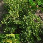 Выращивание крыжовника в живой изгороди