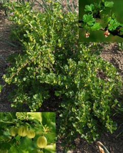 Ribes-grossularia