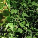 Смородина чёрная — кусты в живой изгороди