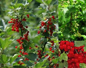 Ribes-rubrum