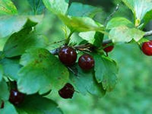 Ribes saxatile