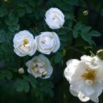 Роза белая, иглистая, сизая, ругоза, морщинистая