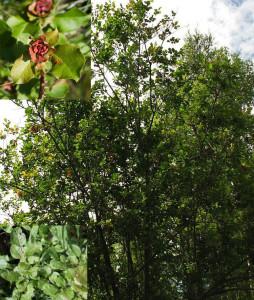 Salix pyrolifolia