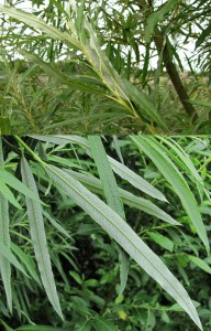 Salix stipularis