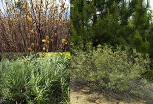 Salix_rosmarinifolia