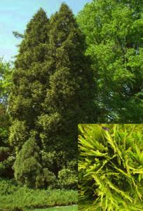 Thuja occidentalis_Aureo-spicata