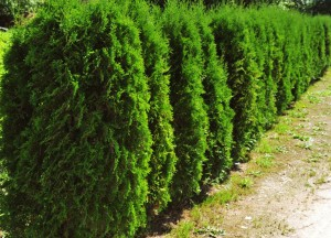 Thuja occidentalis_Holmstrup