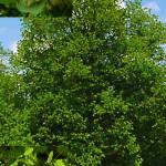 Липа крупнолистная, европейская, обыкновенная, летняя, зимняя, мелколистная