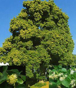 Tilia parvifolia