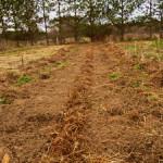Посадка репчатого лука весной